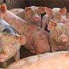 Responsabilidades de los/las titulares de las explotaciones de porcino