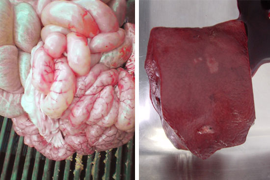 Decoloración en hígado e inflamación en válvula ileocecal