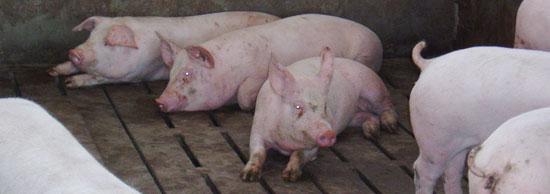 Cerdos de engorde