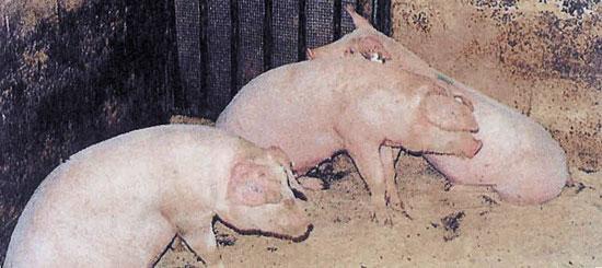 Cerdos con problemas respiratorios