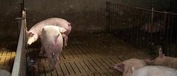 Unos microaspersores remojan periódicamente la zona donde se quiere que los animales defequen.