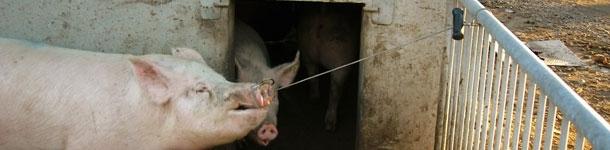 El cerdo se sujeta por si solo y no escapará porque siempre tiene tendencia a tirar hacia atrás.