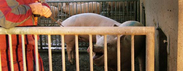 Lazamos al cerdo de forma normal y tiramos de él hasta lograr que el extremo del cable pueda sujetarse a una barandilla del corral.