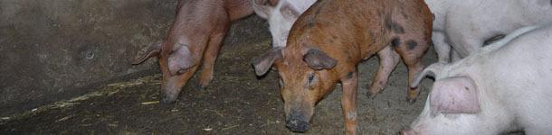 Material explorativo en cerdos