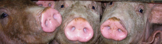 Cerdos-engorde