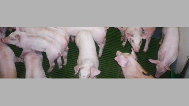 Como no había mejora se decidió mandar 5 lechones al laboratorio Servei de Diagnòstic de Patologia Veterinària en la Facultat de Veterinària de la Universitat Autònoma de Barcelona, ya que la clínica observada en la granja era poco concluyente.