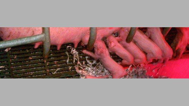 Lechones lactando
