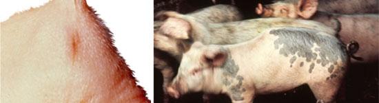 Atresia - la inviabilidad conduce a la muerte y a la pérdida económica.  Cifosis - común en algunas explotaciones aunque la mayoría de cerdos sobreviven y crecen normalmente.