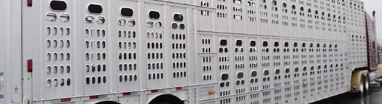 Camión transporte cerdos en USA