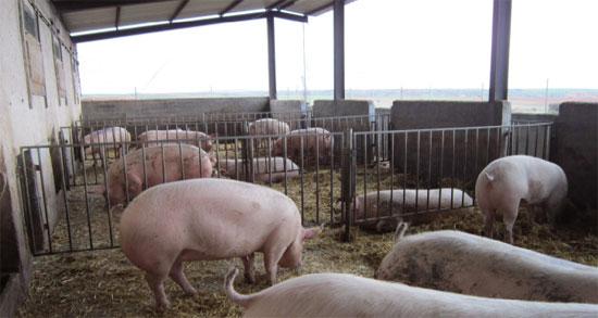 Cerdos en patios