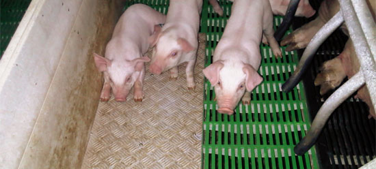 En el caso de los lechones, es decir cerdo antes de ser destetado, una parte de la superficie total del suelo, suficiente para que todos los animales estén tumbados al mismo tiempo, deberá ser suelo sólido o estar revestido