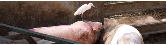 Cerdo y ave