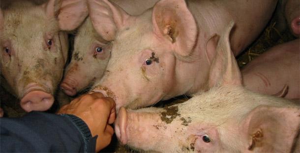Se estudiará si el consumo de antimicrobianos en cerdos está relacionado con la aparición de resistencias