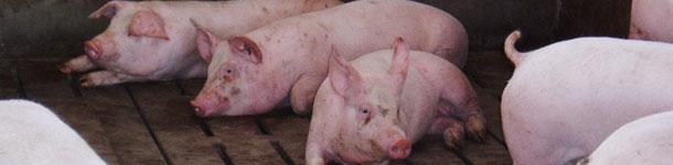 Engorde porcino