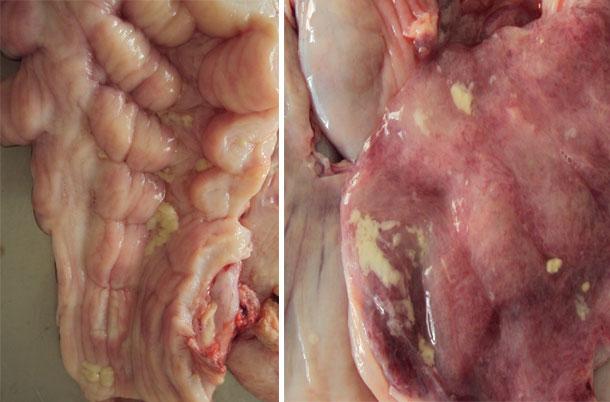 Presença de muco na mucosa da cervix e na mucosa uterina