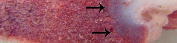 Síndrome de la deficiencia en vitamina D en porcino (II)