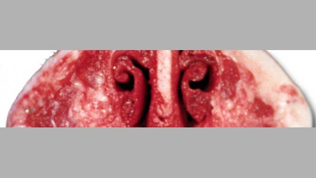 El diagnóstico de la Rinitis Atrófica del cerdo