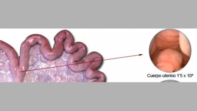 20101006_inseminacion_artificial_cerda