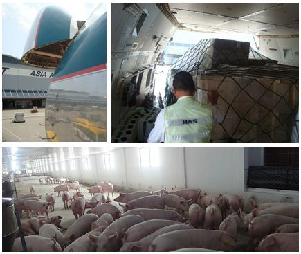 Suministro de animales GGP de Hypor España a Vietnam