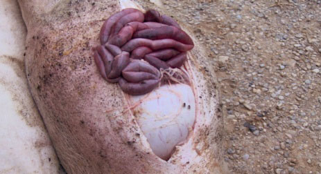 Necropsia de un cerdo afectado por úlcera gástrica