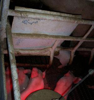 Chapa metálica para proteger a la cerda de la luz y el calor del foco.