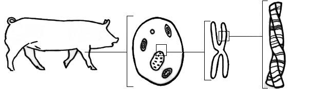 ADN porcino