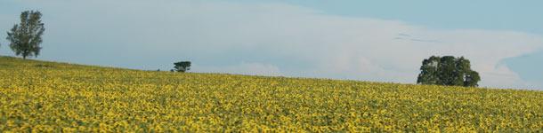 Campo de girasoles