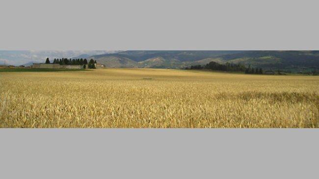 Campo de cereales