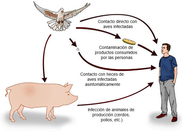Posibles vías de transmisión de Salmonella spp. de las aves silvestres al hombre