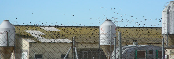 Presencia de una gran densidad de aves en una explotación porcina