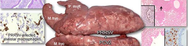Pulmones de un cerdo afectado por PRDC
