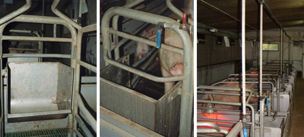 Alimentación manual en comederos muy grandes. La cerda dispone de un chupete de caudal medio pero tenemos un grifo en cada plaza para añadir agua a la hora de las comidas o cuando creamos oportuno.