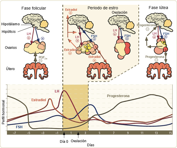 Niveles hormonales de la cerda durante el ciclo estral