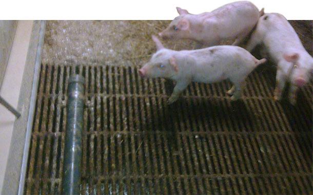 Tubería de PVC para evitar defecaciones en el comedero