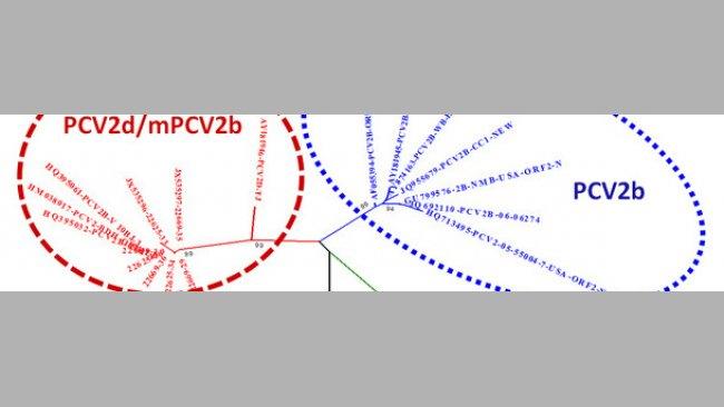 Relación entre los principales genotipos de PCV2 basados en la comparación de la ssecuencias ORF2