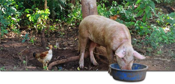 Cerdo de traspatio en Gulu, Uganda, donde regularmente aparecen brotes de PPA.