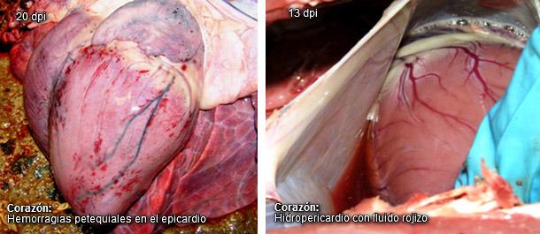 Corazón con hidropericardio y petequias