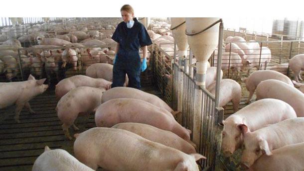 Granja de cerdos
