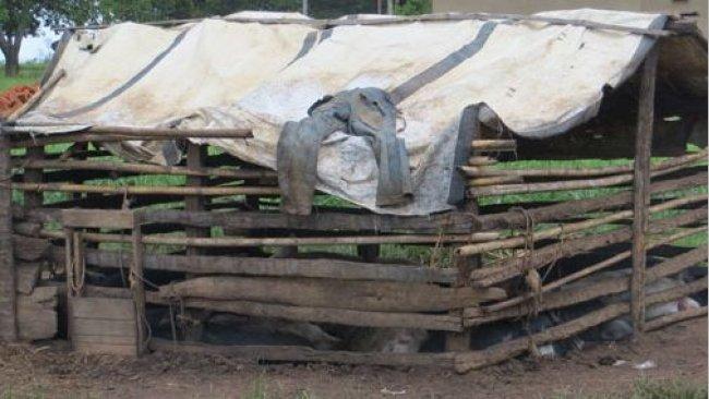 Ejemplo de un alojamiento porcino precario en Uganda