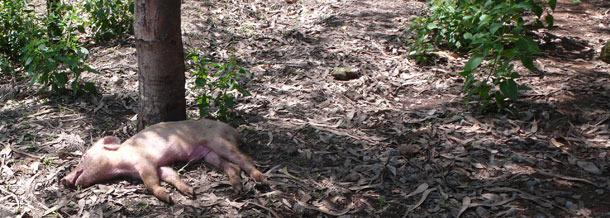 Lechón muerto tirado en lugar de ser eliminado adecuadamente.
