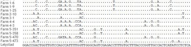 Fragmento del alineamiento de secuencias ORF5 de cepas de PRRSV de 5 granjas distintas.