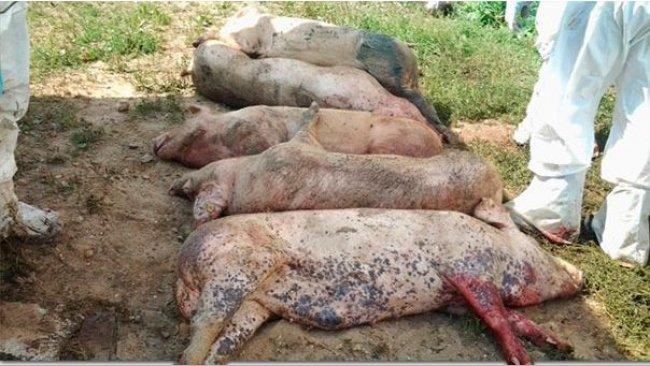 Cadáveres de cerdos infectados cor el virus de la PPA.