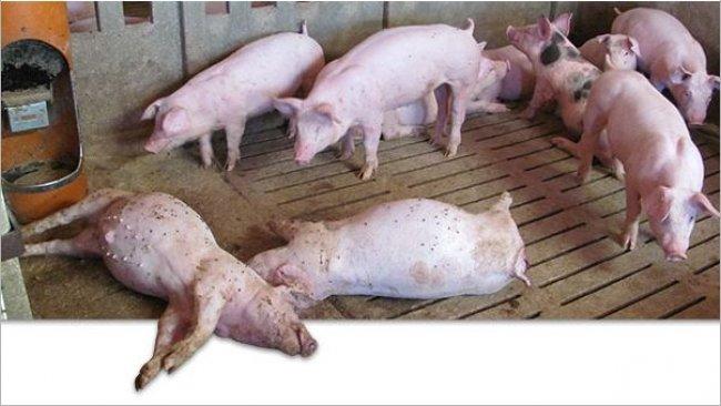 Cerdos muertos en la granja