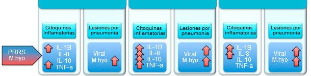 Niveles de citoquinas proinflamatorias y lesiones pulmonares en cerdos infectados con M hyo y PRRSv