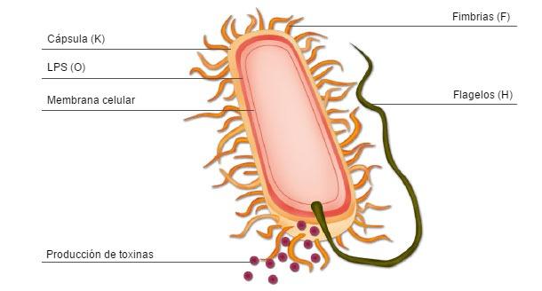 Representación esquemática de una bacteria E. coli mostrando los factores de virulencia y antígenos de superfície utilizados para la clasificación bacteriana por virotipo y serotipo