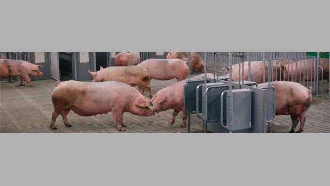 Con el fin de formular con precisión los piensos para cerdos, se han desarrollado sistemas de alimentación que predicen la cantidad de energia suministrada por el pienso