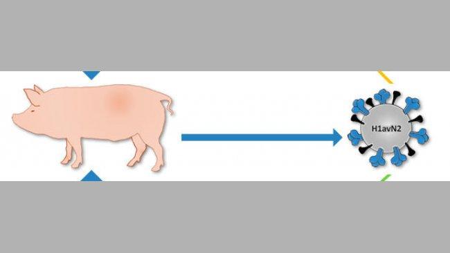 Origen del virus H1avN2 descrito en Dinamarca y Francia