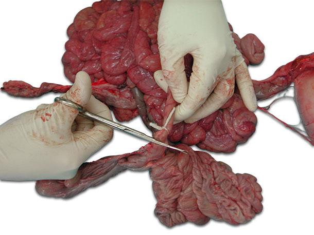 Ligar el tramo del intestino por los extremos antes de cortar.