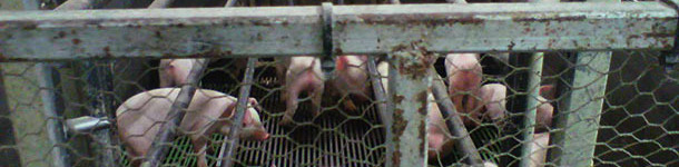 Jaula de parto con la jaula y los lechones destetados precozmente