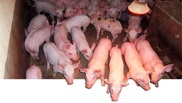 Los caracteres de los cerdos de crecimiento y acabado son moderadamente heredables